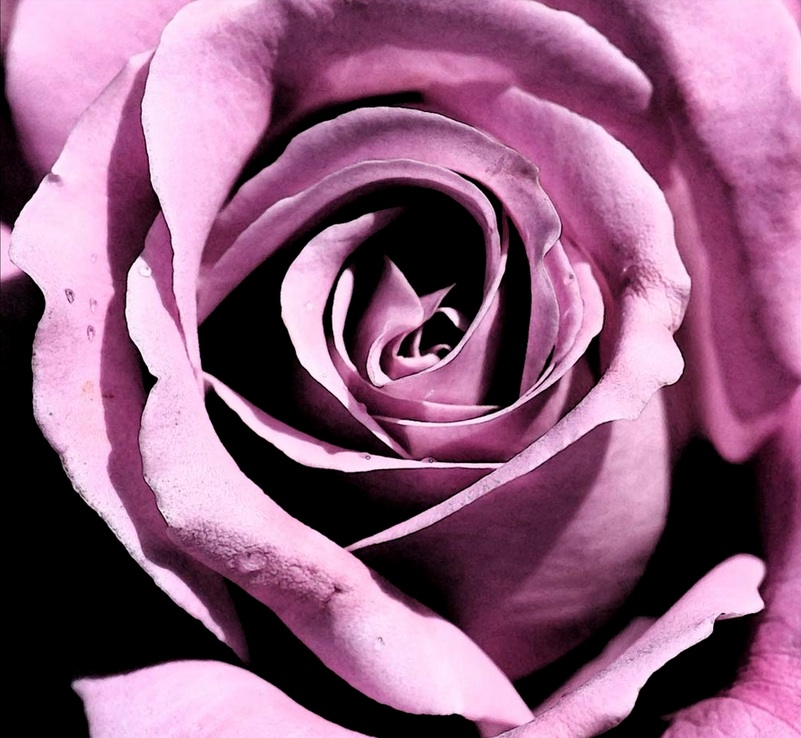 purple rose2