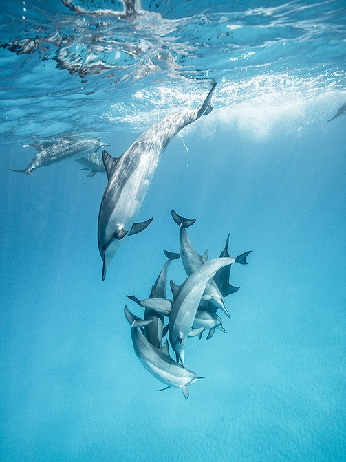 dolphins dive in