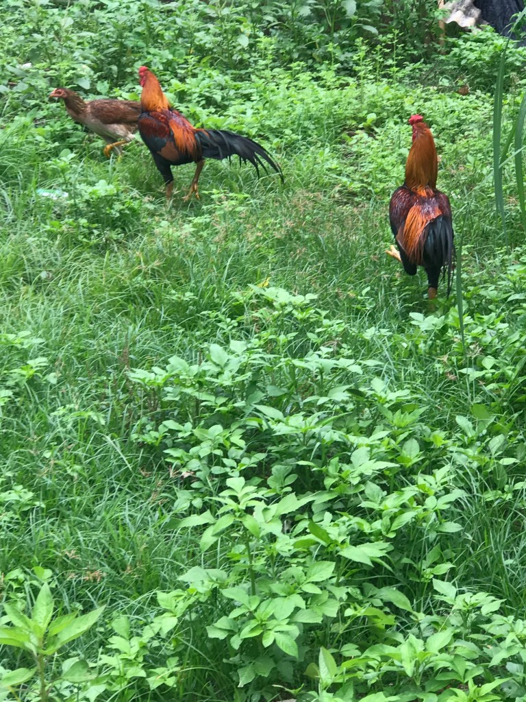 samui roosters